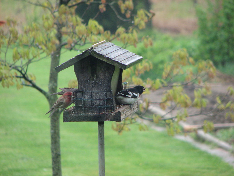 house finch and rose breasted grosbeak
