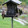 house finch and downy woodpecker