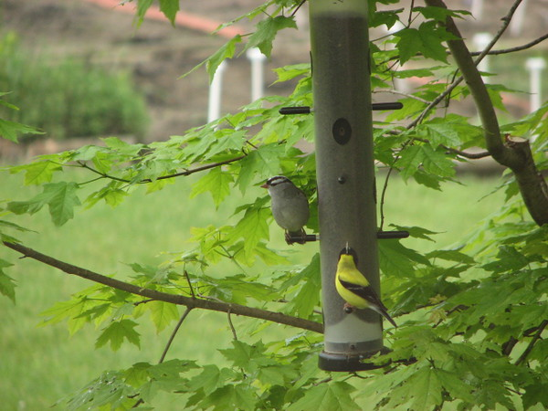 white crowned sparrow and American goldfinch