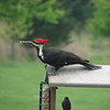 pileated woodpecker (and brown headed cowbirds)