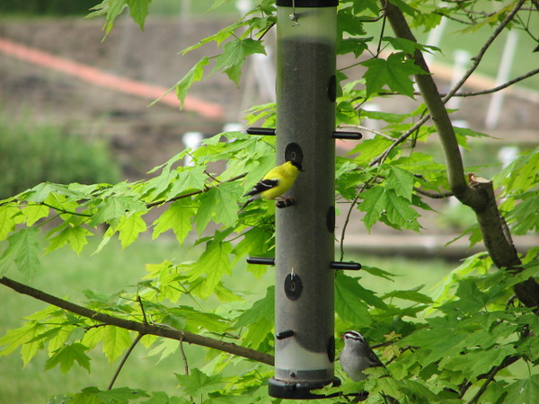 American goldfinch and white crowned sparrow
