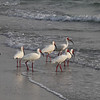 White Ibis-Naples