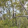 Osprey-Everglades