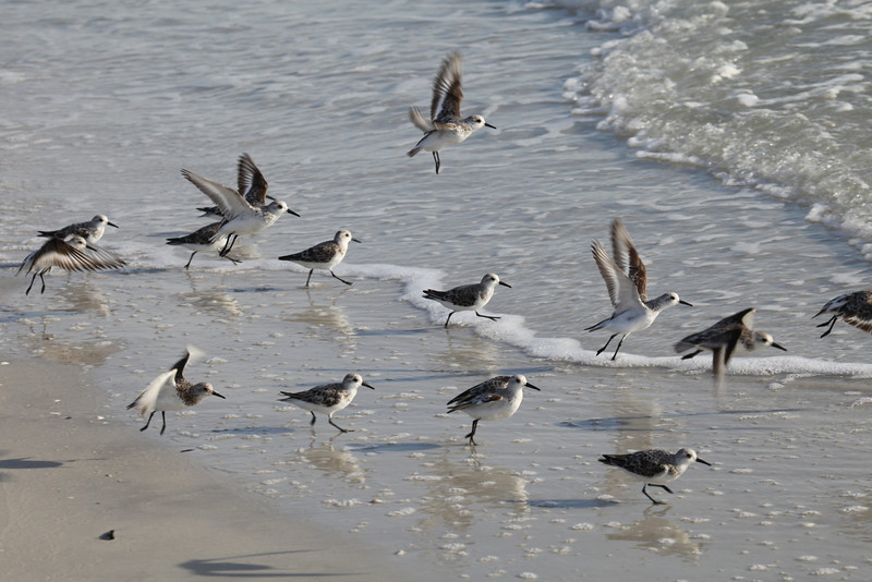 Sanderlings-Crescent Beach