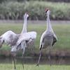 Sandhill Cranes - St Augustine, Fl