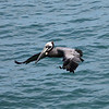 Brown Pelican-Crescent Beach