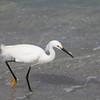 Snowy Egret-Naples