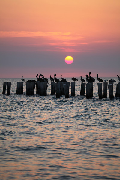 Pelicans at Sunset-Naples, FL