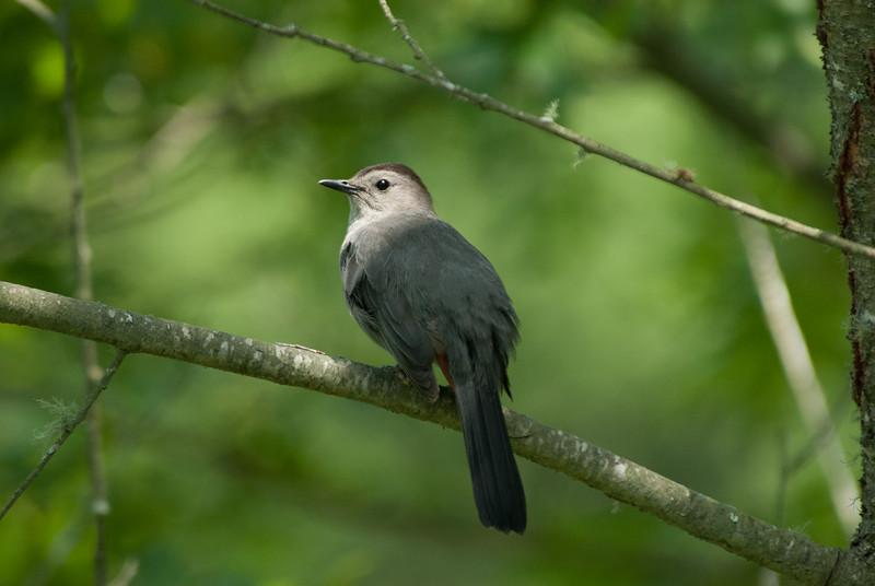Gray Catbird (1)