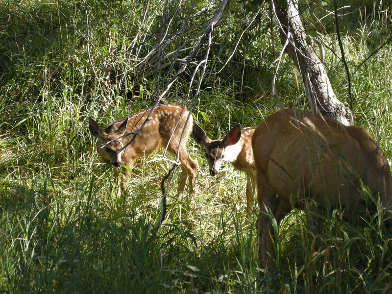 A closer view of the fawns.