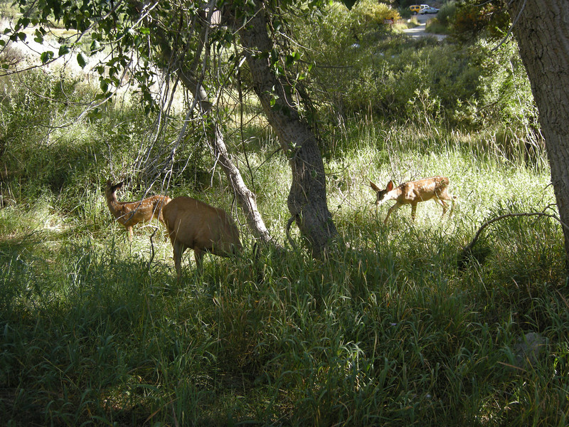 A doe and two young spotted fawns near the trailhead.