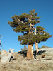 A Whitebark pine that refuses to release its embrace with its long-dead companion.