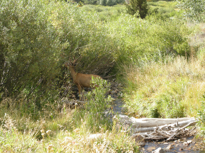 A nearby stream, and behold, a buck deer browsing on streamside vegetation.