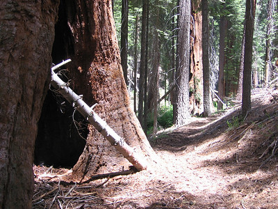Giant Sequoias along the trail.