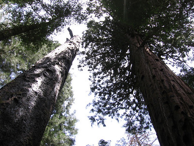 Redwoods surrounding Redwood Meadow. Though I'd hiked towards this destination several times in the past (all the way back to 1969!), this was the first time I'd ever been here.