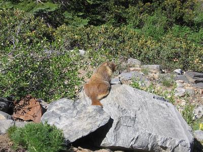 Marmot photo #2. Still closer?