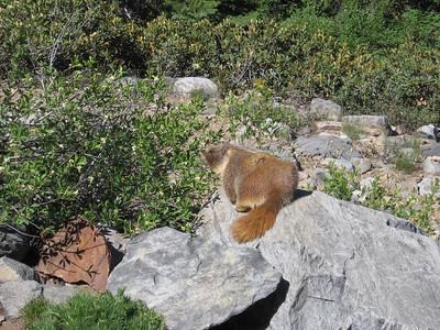 Marmot photo #3; getting ready to scurry off.