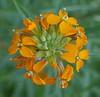 wallflower_flower head_P1050133