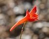 scarlety delphinium_single_P1050132