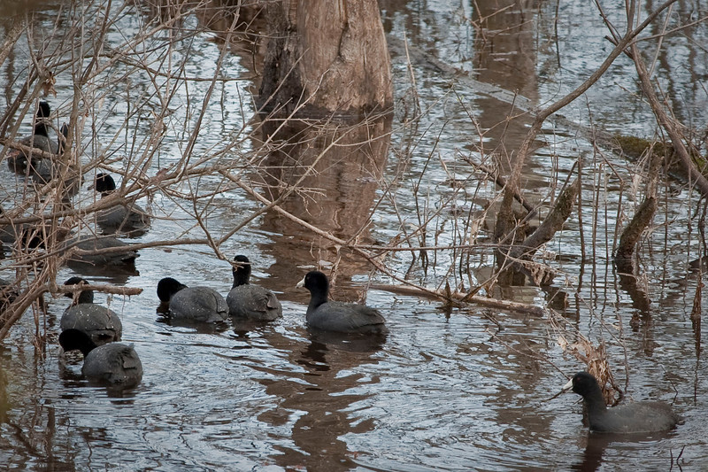 American Coots