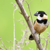 Sporophila collaris<br /> Coleiro-do-brejo<br /> Rusty-collared Seedeater<br /> Corbatita dominó - Guyra juru tu'î