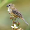 Sporophila collaris<br /> Coleiro-do-brejo fêmea<br /> Rusty-collared Seedeater female<br /> Corbatita dominó - Guyra juru tu'î