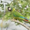 Primolius auricollis<br /> Maracanã-de-colar<br /> Yellow-collared Macaw<br /> Maracaná cuello dorado - Marakana ajura sa'yju