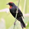 Chrysomus ruficapillus<br /> Garibaldi<br /> Chestnut-capped Blackbird<br /> Varillero congo - Guyra tagua