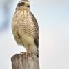 Rupornis magnirostris<br /> Gavião-carijó imaturo<br /> Roadside hawk immature<br /> Taguató - Yndaje