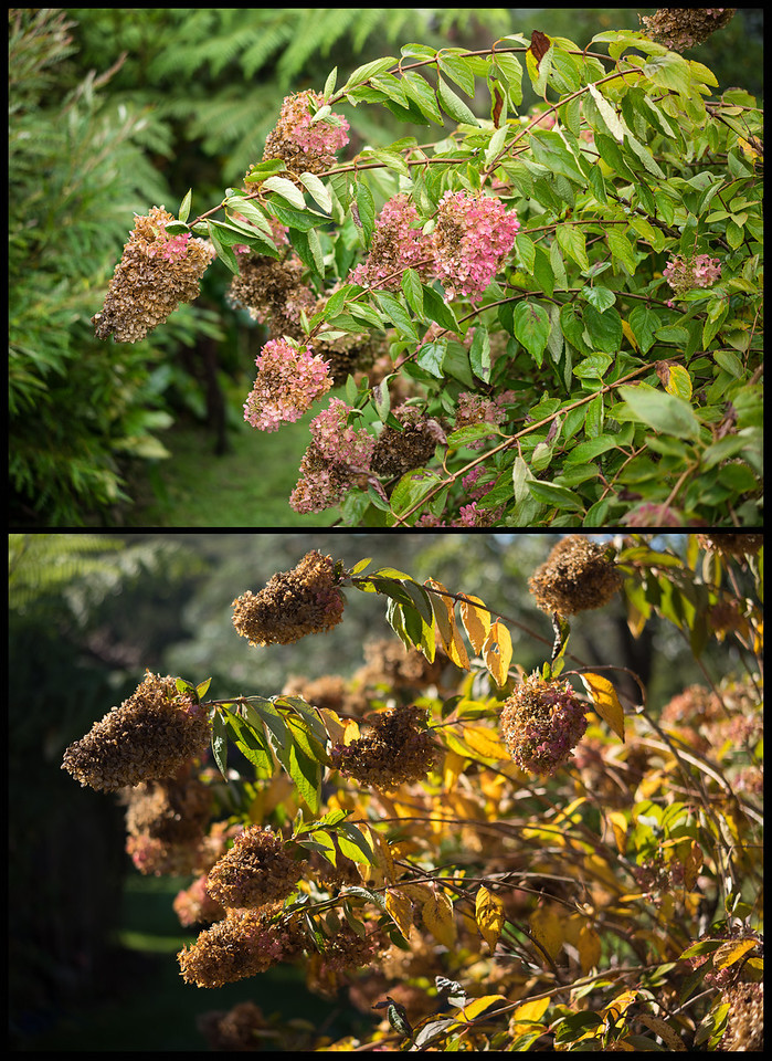 Early and Late Autumn in our garden. Hydrangea Paniculata.