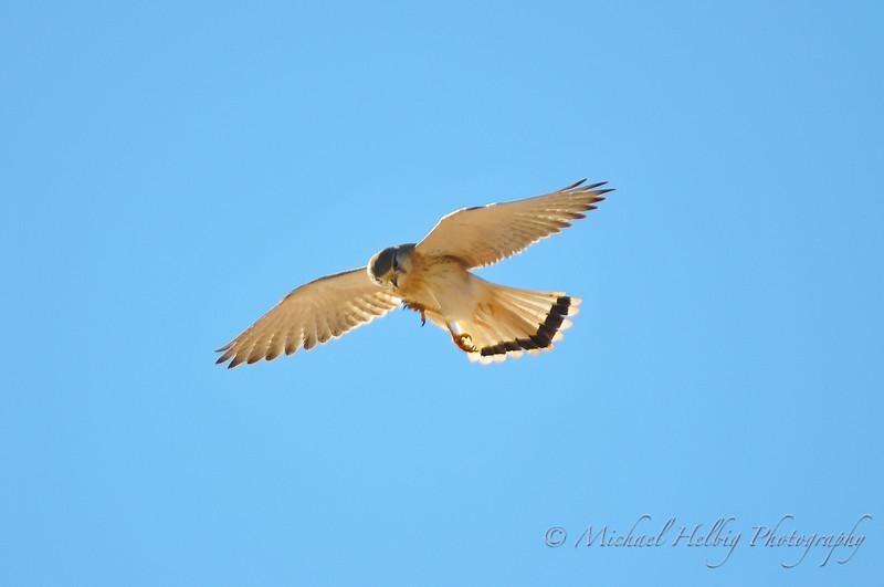 Nankeen Kestrel - Kalbarri Australia