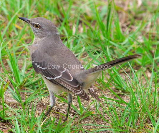 Northern Mockingbird MNM001