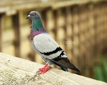 Pigeon MPG001