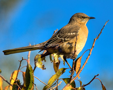 Northern Mockingbird MC
