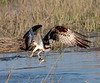Birds : All kinds of birds, such as; osprey, Eagles, Herons, Egrets, Wood Storks, Sea Gulls, Pelicans and Pigeons