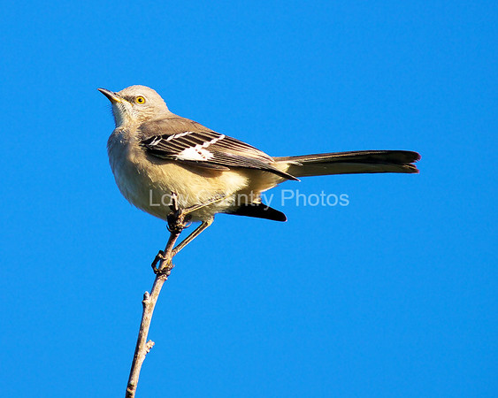 Northern Mockingbird MNM002