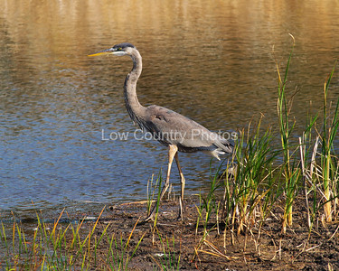 Great Blue Heron at Huntington Beach State Park in SC MGBH005