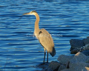 Great Blue Heron MGBH004
