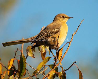 Northern Mockingbird MNM006