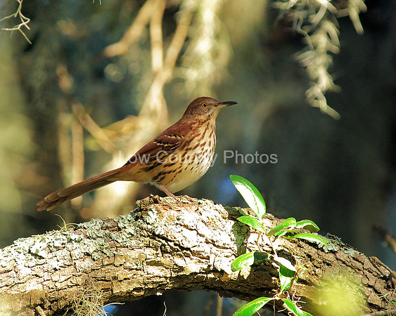 """Buster""  MCB028 Brown Thrasher"