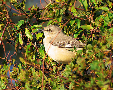 Northern Mockingbird MNM004