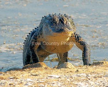 Walking Alligator at Huntington Beach State Park, SC