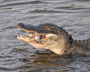 Alligator with a smile on his face at Huntington Beach State Park.