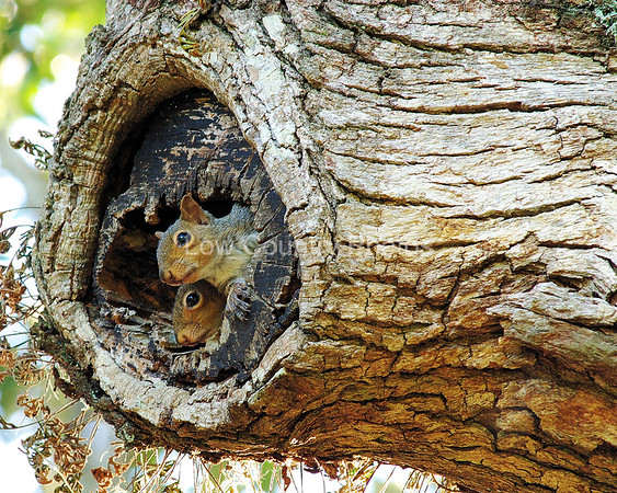 Gray Squirrels MGSQ002