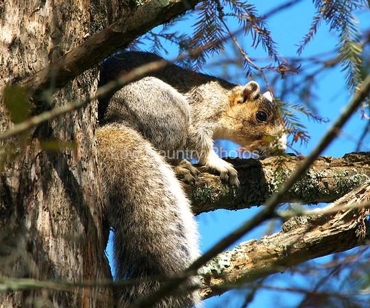 """Squirrelie""  MCM030 Gray Squirrel"