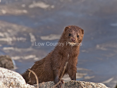 A mink looking back at me at Huntington Beach State Park