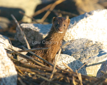 American Mink MAM002  at Huntington Beach State Park.