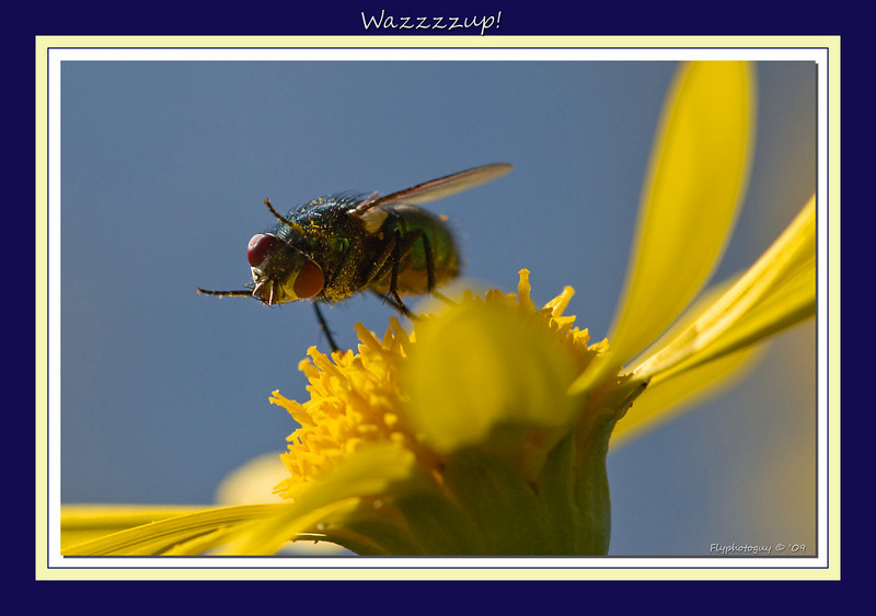 "I liked this pose -- looks the fly is either telling me to get the hell out of its space, or ""Waaaazzzzzzzzzzzzzup!"""