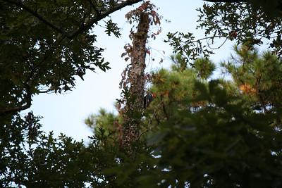 Woodpecker - Springville, AL