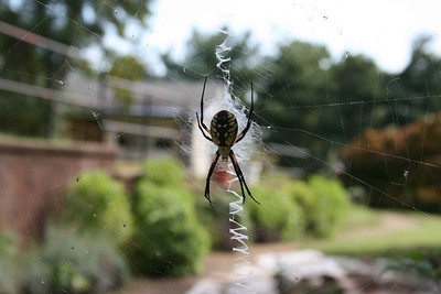 Writing Spider, Knoxville, TN, October 2009.